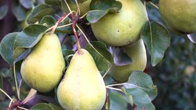 Pears on a tree branch at the autumn garden stock footage