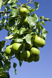 Pears on a tree Stock Images