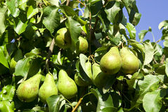 Pears on a tree branch closeup . Royalty Free Stock Photo