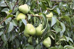 Pears On Tree Branch. Fruit branch ripe agriculture green organic leaf tasty food pears Royalty Free Stock Photography