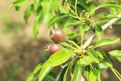 Pears on a tree branch Stock Photo