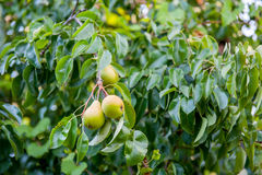 Pears on tree branch Stock Photo