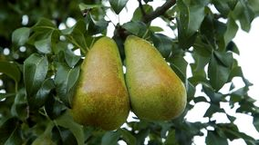 Pears on a tree branch in the orchard. Big ripe pears on a tree branch in the orchard stock video