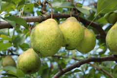 Pears on a tree branch Stock Image