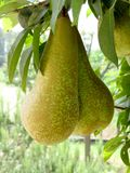 Pears on tree branches Royalty Free Stock Photos