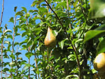 Pears on tree branches Royalty Free Stock Photography