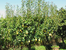 Pears on tree branches Royalty Free Stock Images