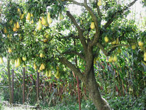 Pears on tree branches Stock Image
