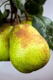 Pears on the tree Royalty Free Stock Photography