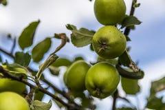 Pears on Tree Stock Photo