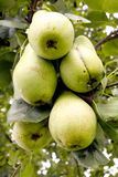 Pears on a tree Royalty Free Stock Photography