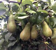 Pears on tree. Few pears on tree hanging stock images