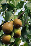 Pears in tree Stock Photos