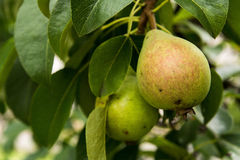 Pears on the tree Royalty Free Stock Photo