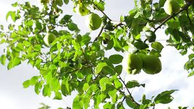 Pears on the tree. stock video footage