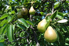 Pears on a tree Royalty Free Stock Image