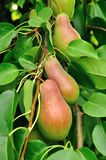 Pears on the tree growing Royalty Free Stock Photography