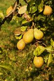 Pears on the tree Royalty Free Stock Photos
