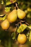 Pears on the tree Stock Image