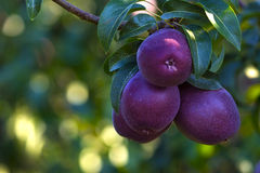 Pears on the Tree Royalty Free Stock Image