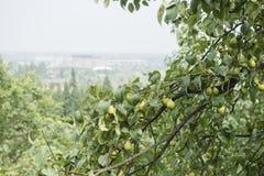 Pears on tree Stock Image