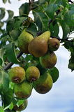 Pears in tree Royalty Free Stock Image