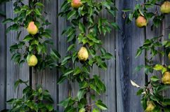 Pears in a vertical garden Stock Photo