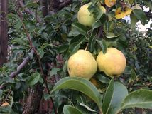 Pears. Yellow pears on the tree Royalty Free Stock Image