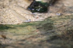Pearse mudskipper Royalty Free Stock Photography