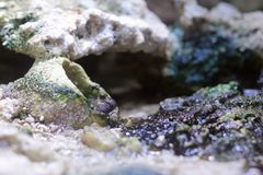 Pearses mudskipper (Periophthalmus novemradiatus) Looking Out Of Hole Stock Photos