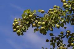 Pearss在秋天 免版税库存照片