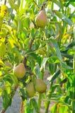 Peartree med frukt Royaltyfri Bild
