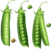 Peas. Fresh green peas as a vector illustration Stock Images
