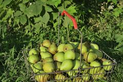 Pears in basket on grass Royalty Free Stock Photo