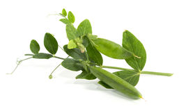 Peas branch Royalty Free Stock Image