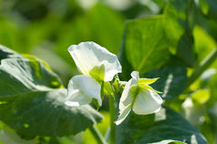 Peas flowers Royalty Free Stock Photography