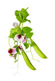 Peas plant Stock Photo