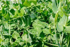 Peas in the garden beds stock photography
