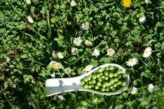 Peas in the garden Stock Image