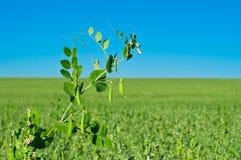 Peas Growing Stock Photo