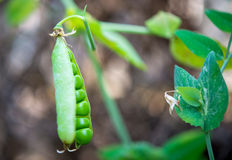 Peas growing Stock Photo