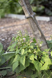 Peas growing by Pole Stock Photos