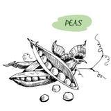 Peas. Hand drawn illustration Stock Photos