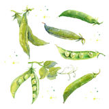 Peas. Hand Drawn Watercolor Painting On White. Royalty Free Stock Photography