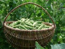 Peas harvest Royalty Free Stock Photo