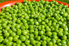 Peas harvest Royalty Free Stock Photography