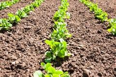 Peas home plantation Stock Images