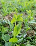 peas leaf Stock Photo