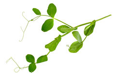 Peas Leaf Isolated on White Background Stock Image