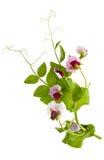 Peas plant Royalty Free Stock Photos